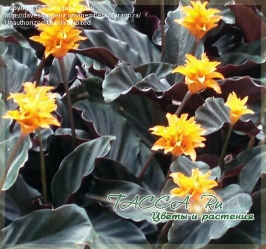 Фото пестрые листья у домашних цветов 151