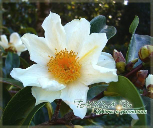 Camellia crapnelliana camellia grijsii camellia irrawadiensis