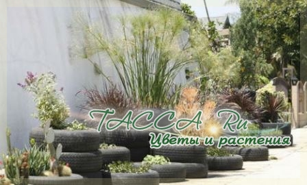 http://www.tacca.ru/images/M_images/flower/garden/tire_004.jpg