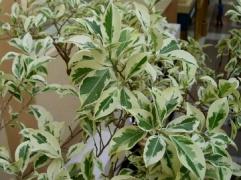 Фикус Бенджамина - Ficus benjamina: уход в домашних условиях.