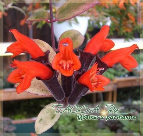 Aeschynanthus lobbiannus variegated эсхинантус Лобба вариегатный