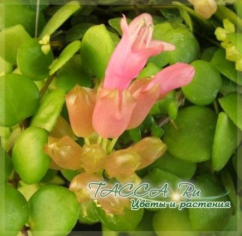 Aeschynanthus 'Thai Pink' эсхинантус 'Thai Pink'