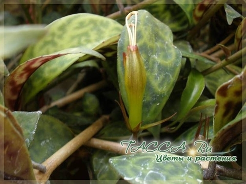 Aeschynanthus longicaulis – эсхинантус мраморный