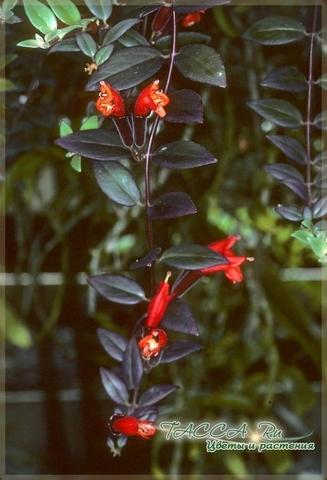 Aeschynanthus pulcher- эсхинантус красивый