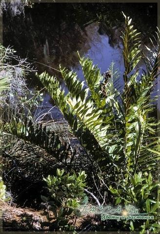 Blechnum serrulatum