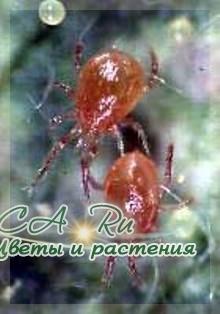 Фитосейулюс (Phytoseiulus persimilis)
