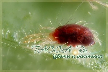 Обыкновенный паутинный клещ (Tetranychus urticae)