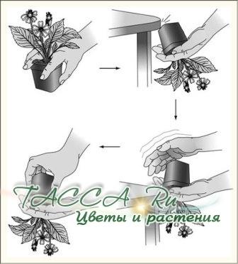 Пересадка комнатных растений.