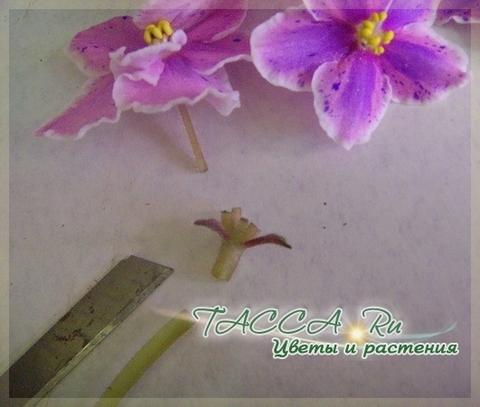 Размножение фиалок листом, цветоносами, черенками, семенами в домашних условиях.