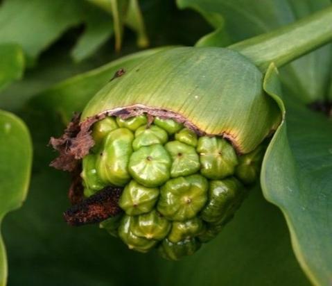 Семена каллы эфиопской.