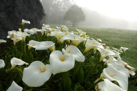 Калла эфиопская Zantadechia aetiopica в природе.