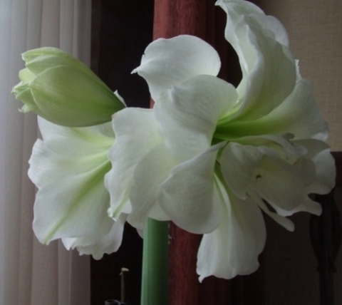 "Гиппеаструм гибридный ""Alfresco"" - Hippeastrum hybrids ""Alfresco"""