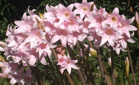 Цветение амариллиса в саду