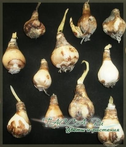 Луковицы эухариса крупноцветкового.