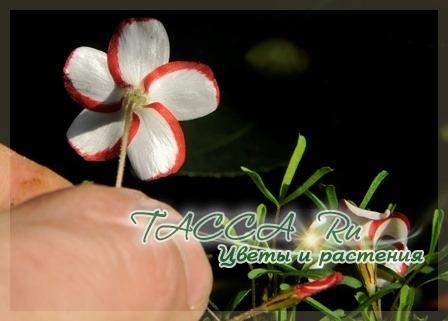 Кислица пестроцветная (Oxalis versicolor)