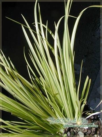 Аир злаковый Acorus gramineus - уход в домашних условиях.