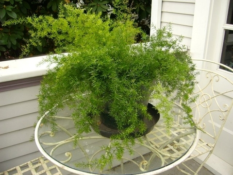 Аспарагус (Asparagus): уход в домашних условиях, фото.