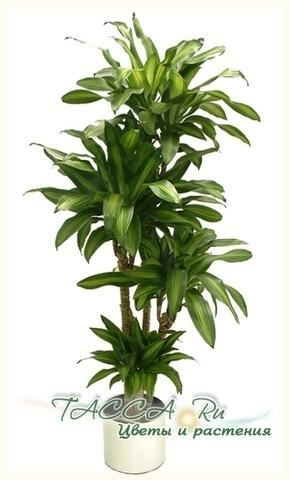 Драцена деремская «Massangeana» - Dracaena deremensis «Massangeana»