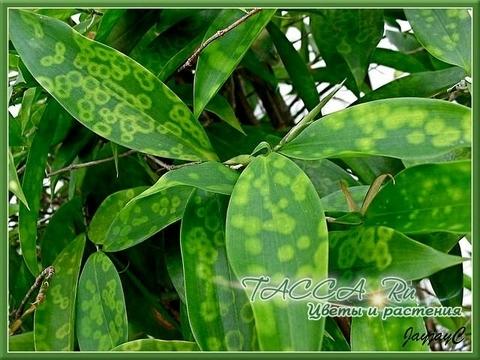 Драцена суркулоза «Мелкоточечная» - Dracaena surculosa «Punctulata»