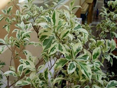 Ficus benjamina variegated