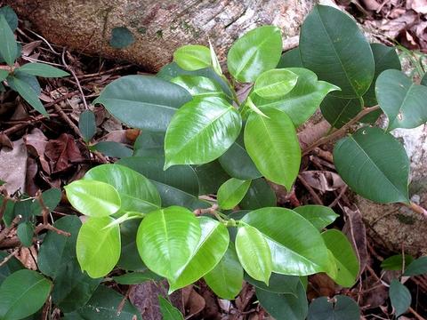 Ficus benjamina L. var. bracteata Corner