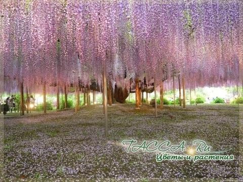 Туннель глициний в Японии.