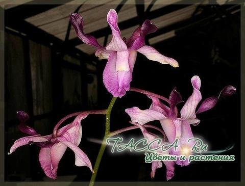 Dendrobium taurinum
