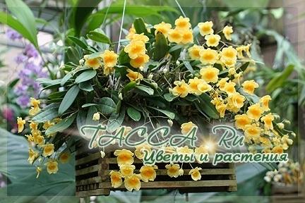 Дендробиум скученный (Dendrobium aggregatum) – фото, уход в домашних условиях.