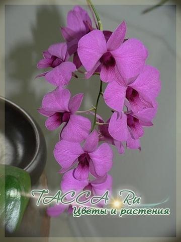 Dendrobium biggibum
