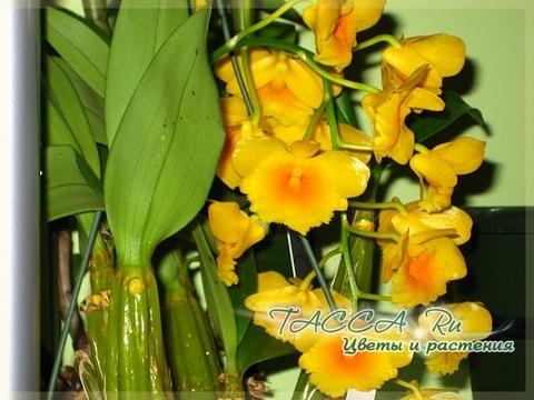 Dendrobium chrisotoxum