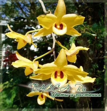 Dendrobium moshatum