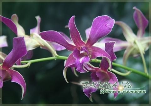 Dendrobium superbiens