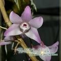 Дендробиум крючкообразный  (Dendrobium aduncum) - уход в домашних условиях.