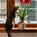 Ядовитые комнатные растения: фото, названия, отравления. Амариллисовые.