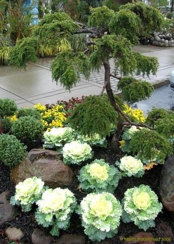 Декоративная капуста в саду.