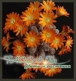 Айлостера солнечная (Aylostera heliosa)