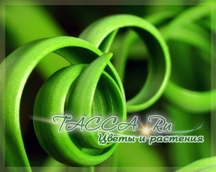 Спиральная трава - Moraea Tortilis: уход в комнатных условиях.