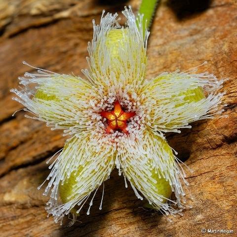 Стапелия железистоцветковая - Stapelia glanduliflora